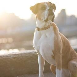 romeo chien boxer