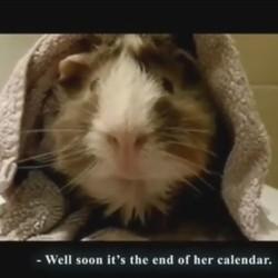 un cochon d'inde nous parle de la fin du monde