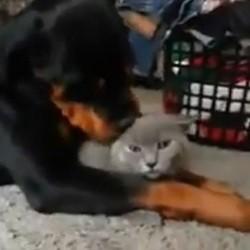 un chat et un rottweiler