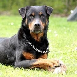 Un rottweiler menacé d'euthanie par le tribunal de Verdun