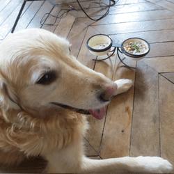 recette pour chien salade golden retriever