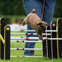 Compétitions de sauts de lapins