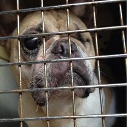chiens élevage illégal