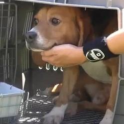 http://static.wamiz.fr/images/news/medium/sauvetage-chien-beagle-laboratoire-video.jpg