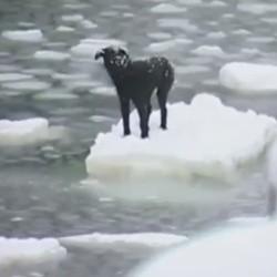 Le sauvetage d'un chien perdu au milieu de l'océan glacé