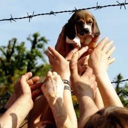 sauvetage chiens beagle experimentation italie