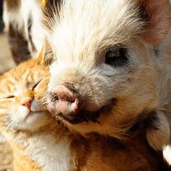 un chat ami avec un cochon