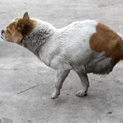 une chienne à deux pattes donne naissance à des chiots