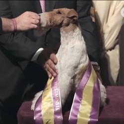 Un fox terrier élu plus beau chien des Etats-Unis