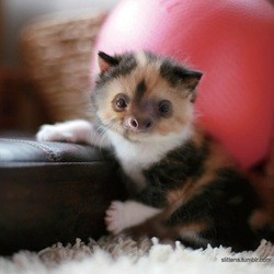 chaton paresseux, slitten