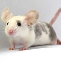 souris blanche grise bien accueillir