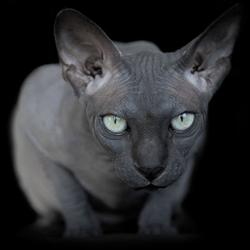 elle explore la beaut trange et fascinante des chats sans poils photos insolite wamiz. Black Bedroom Furniture Sets. Home Design Ideas
