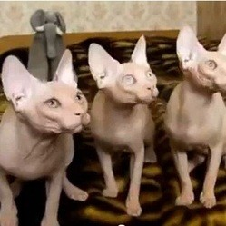 chats sphynx rythme musique video