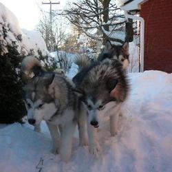 chiens dans la neige