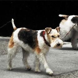 taxe sur les chiens