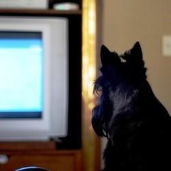 chien regarde télé