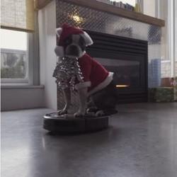 Boston terrier déguisé en père noël