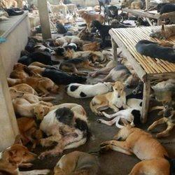 Des centaines de chiens capturés pour leur viande ont été sauvés en Thaïlande