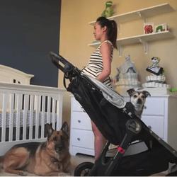 Deux chiens volent la vedette à leur maîtresse enceinte