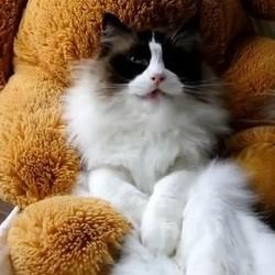 chat ragdoll ours en peluche