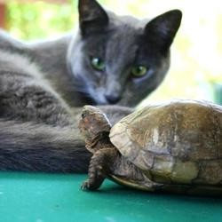 tortue chasse chat video lol