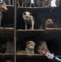 trafic chiens thailande vietnam
