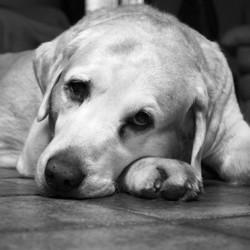 les chiens sont tristes comme les humains