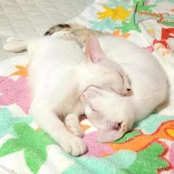 Jumeaux, ces chats se reflètent l'un l'autre comme un miroir