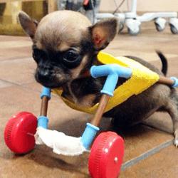 chihuahua en chariot