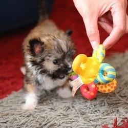 Faites connaissance avec Tyson, le plus petit chien de Grande-Bretagne