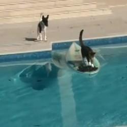 Un chat fait du surf pour échapper à un chien