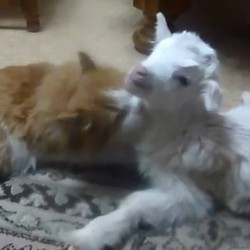 amitié entre un chat et un bébé chèvre