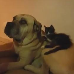 un chaton joue avec les oreilles d'un chien