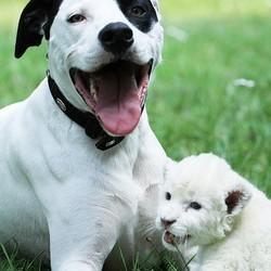 un chien adopte un lionceau blanc abandonné