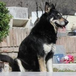un chien berger allemand reste depuis 6 ans près de la tombe ed son maître