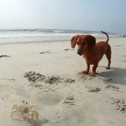 un chien veut jouer avec un crabe