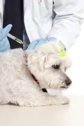 vaccination chien