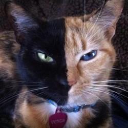 Un chat à deux visages devient une star sur le web !