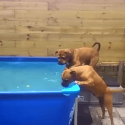 vidéo bulldogs