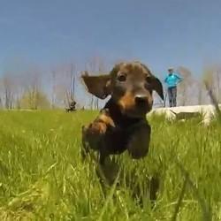 un chiot court dans l'herbe