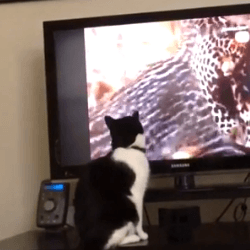 chat devant la télé