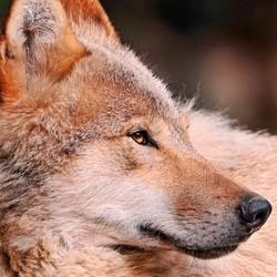 vivre avec des loups