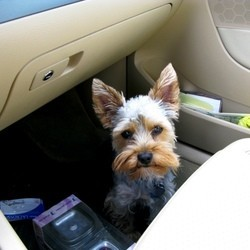 voyage voiture chien danger