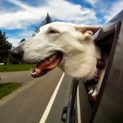chien passe tete voiture video