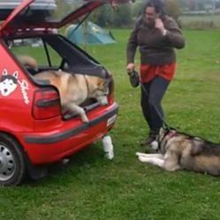 Husky qui ne veut pas monter en voiture