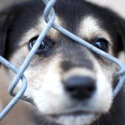 chiens volés un phénomène inquiétant en augmentation