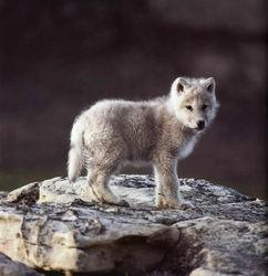 chien évolution loup origine bébé visage expression