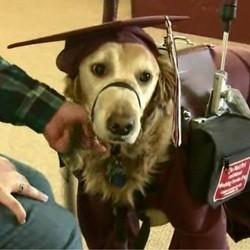 Labrador, chien de service