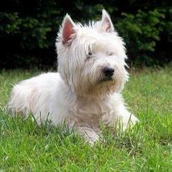 Westie : tout savoir sur cette race de chien - Choisir son chien - Wamiz