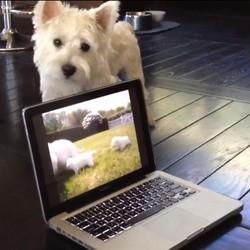 Un Westie regarde une vidéo